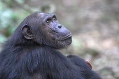 Porträt eines weiblichen Schimpansen Lizenzfreie Stockfotos