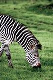 Porträt eines weiden lassenden Zebras Lizenzfreies Stockbild