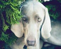 Porträt eines Weimaraner-Hundes, der Kamera betrachtet Stockbilder