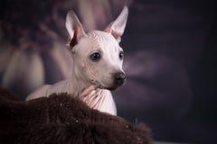 Porträt eines Welpen des amerikanischen nackten Terriers der Zucht stockfotos