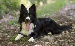 Porträt eines Welpen von border collie im Wald Stockfotografie