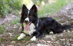Porträt eines Welpen von border collie im Wald Lizenzfreies Stockfoto