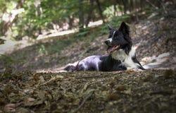 Porträt eines Welpen von border collie im Wald Lizenzfreies Stockbild