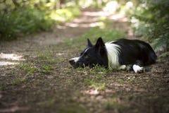 Porträt eines Welpen von border collie im Wald Stockfoto