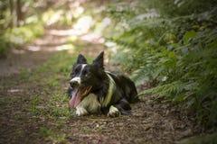 Porträt eines Welpen von border collie im Wald Lizenzfreie Stockfotografie