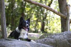 Porträt eines Welpen von border collie im Wald Stockbilder