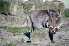 Porträt eines wilden boarn mit lustigen Hörnern Stockbilder