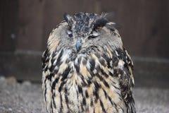 Porträt eines wunderbaren braunen majestätischen Eurasiers Eagle Owl Stockbild