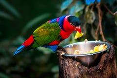 Porträt einzelnen dreifarbigen Papageien A, Lorius-Lory Lizenzfreie Stockfotografie