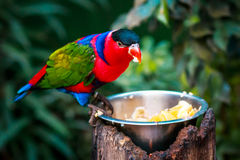 Porträt einzelnen dreifarbigen Papageien A, Lorius-Lory, essend trägt in den natürlichen Umgebungen Früchte Stockfotos