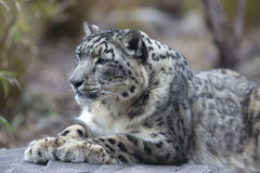 Porträt erwachsenen Schneeleopard Panthera uncia Stockbild