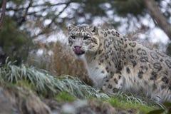 Porträt erwachsenen Schneeleopard Panthera uncia Lizenzfreies Stockfoto