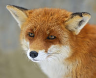 Porträt-Füchse Stockbilder