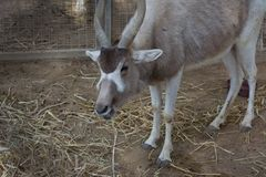 Porträt für die Wüstenkuh, alias die weiße Antilope und die screwhorn Antilope, ist eine Antilope der Klasse Wüstenkuh, die lebt stockbild