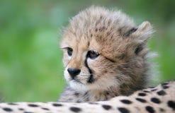Porträt-Gepardjunges Stockfotos