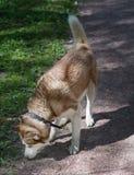 Porträt im Freien eines weißen und braunen Hundes des sibirischen Huskys, der den Boden, etwas, der Spurhaltung oder nach der Jag stockfoto