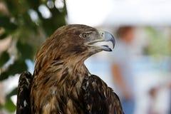 Porträt im Profil eines Adlers Lizenzfreie Stockbilder