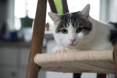 Porträt inländischer shorthair Katze Lizenzfreies Stockbild