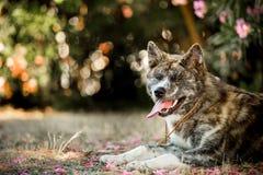 Porträt legen schöner lächelnder glücklicher japanischer Akita-Hund auf dem Boden Grüner Wald auf Hintergrund lizenzfreies stockfoto