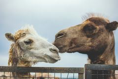 Porträt mit zwei Kamelen lizenzfreie stockfotografie