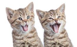 Porträt mit zwei lustiges glückliches junges Katzen lokalisiert stockbild