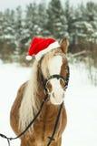 Porträt-Nachtigall-Waliser-Pony in einer Weihnachtsroten Kappe im Schnee im Wald stockfotos