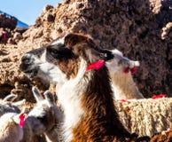 Porträt nah oben vom Lama Inländisches Lama Nettes Tier lizenzfreie stockbilder