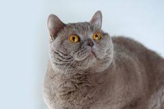 Porträt-nette Britisch Kurzhaar-Katze mit den Leuchtorangeaugen, die oben auf weißem Hintergrund liegen und schauen stockbilder