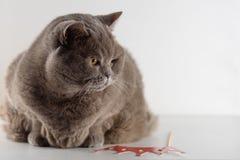Porträt-nette Britisch Kurzhaar-Katze mit den liegenden Leuchtorangeaugen und unten auf weißem Hintergrund schauen stockfotos