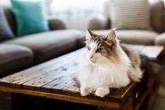 Porträt netten Cat Lying On Table At-Wohnzimmers Lizenzfreie Stockfotografie