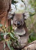 Porträt-netter australischer Koala-Bär, der in einem Eukalyptusbaum sitzt und mit Neugier schaut Känguruinsel stockfotografie