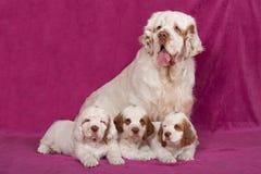 Porträt netter clumber Spaniels Stockbilder