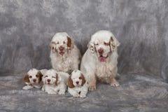 Porträt netter clumber Spaniels Lizenzfreie Stockfotografie