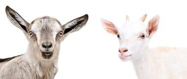 Porträt netter Ziege zwei Lizenzfreie Stockfotos