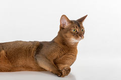 Porträt neugierig und verärgerte abyssinische Katze, die auf dem Boden liegt und zurück schaut Getrennt auf weißem Hintergrund Lizenzfreie Stockfotografie
