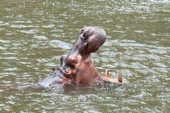 Porträt-Nilpferd, offener Mund des Nilpferds Stockfotos
