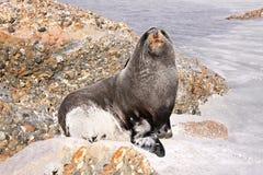 Porträt-Pelz-Dichtung, Arctocephalus forsteri, Südinsel Neuseeland Stockfotografie