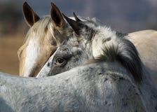 Porträt Pferdedes schauens Stockbilder