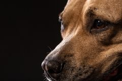 Porträt roter Pitbull A auf einem schwarzen Hintergrund stockfoto
