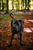 Porträt schönen grauen Stock corso Hundes in Deutschland Stockfotografie