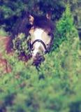Porträt schönen Wildlederwaliser-Ponys Stockfoto