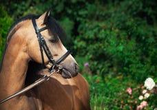 Porträt schönen Wildlederwaliser-Ponys Stockfotos