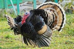 Porträt schöner Gobbler Die Bronze, breit-chested Truthahn Der früheste Name für den Truthahn ist die 'türkischen Hühner ' stockbilder