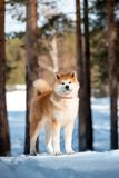 Porträt-schöner lächelnder glücklicher japanischer Akita-Hundeaufenthalt auf Schnee und Schauung nach vorn Bäume auf Hintergrund lizenzfreies stockbild