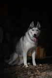 Porträt-sitzender sibirischer Husky Lizenzfreie Stockbilder