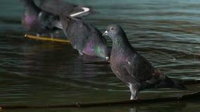 Porträt-Tauben trinken Wasser und baden im Slowmotion Park der Stadtgebiete A stock video