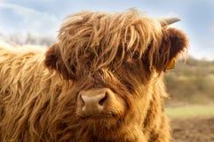Porträt Viehs eines des netten Hochlands stockfotos