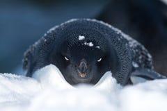 Porträt von Adelie-Pinguinen, das im Schnee im Winter liegt Stockbilder
