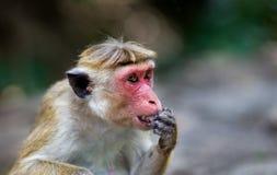Porträt von Affe Macaca Sinica von Sri Lanka Stockfoto