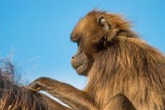 Porträt von afrikanischen Pavianen im offenen Erholungsort am blauen Himmel Stockfotos